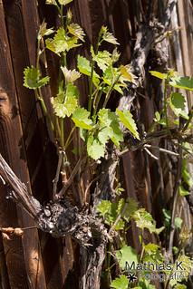 Weinblätter