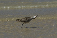 Whimbrel Stretch