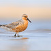 Red Knot by BN Singh