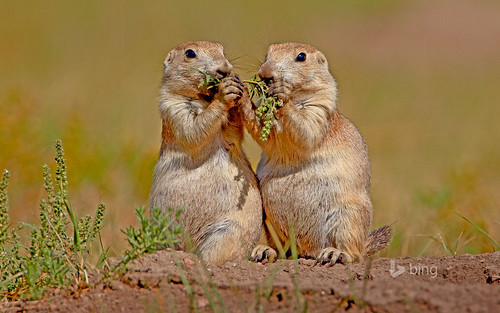 Black-tailed prairie dogs in Wind Cave National Park, South Dakota