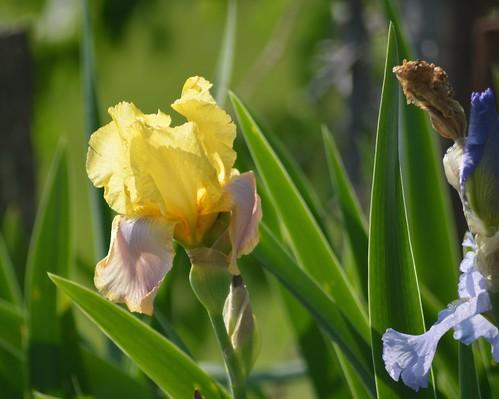 Ruth's Irises