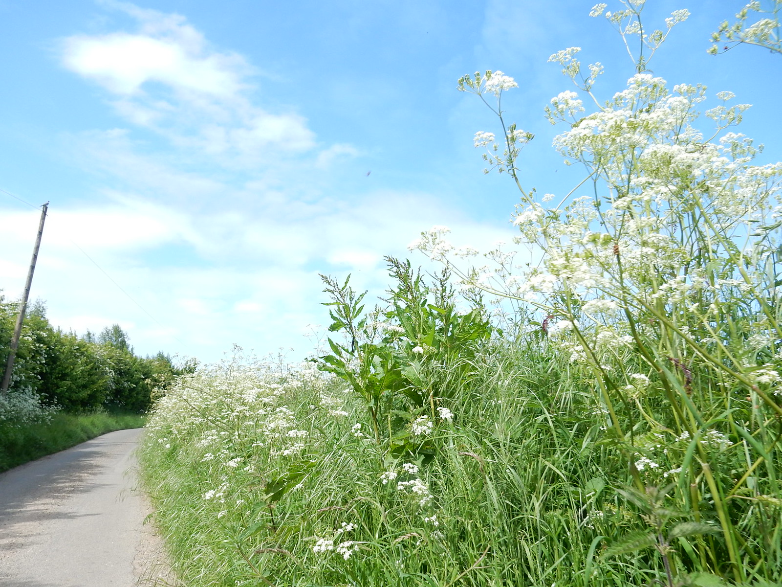 "Give you a clue, ""moo"" Cow parsley Bures to Sudbury"