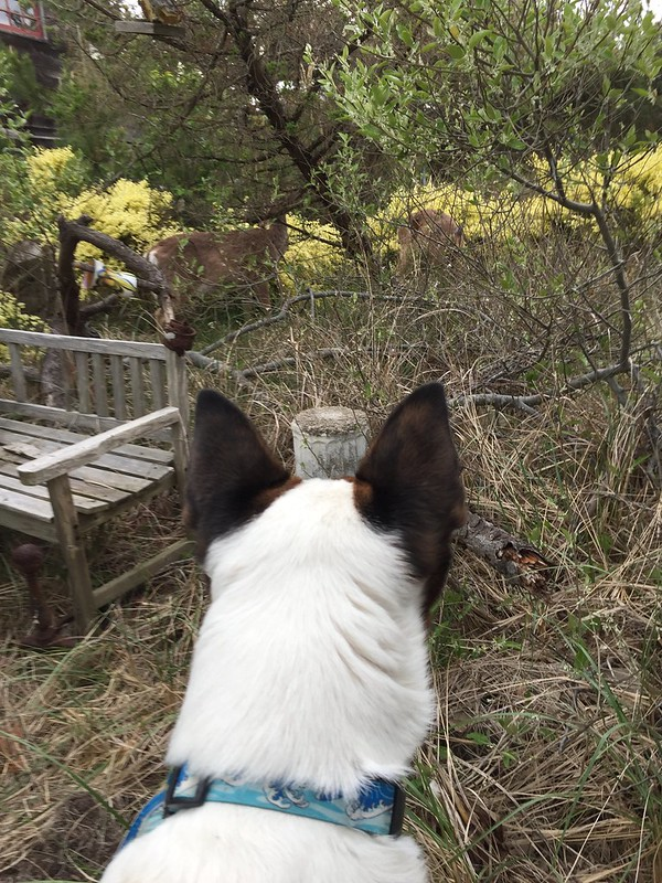 Rocket's First Deer Encounter