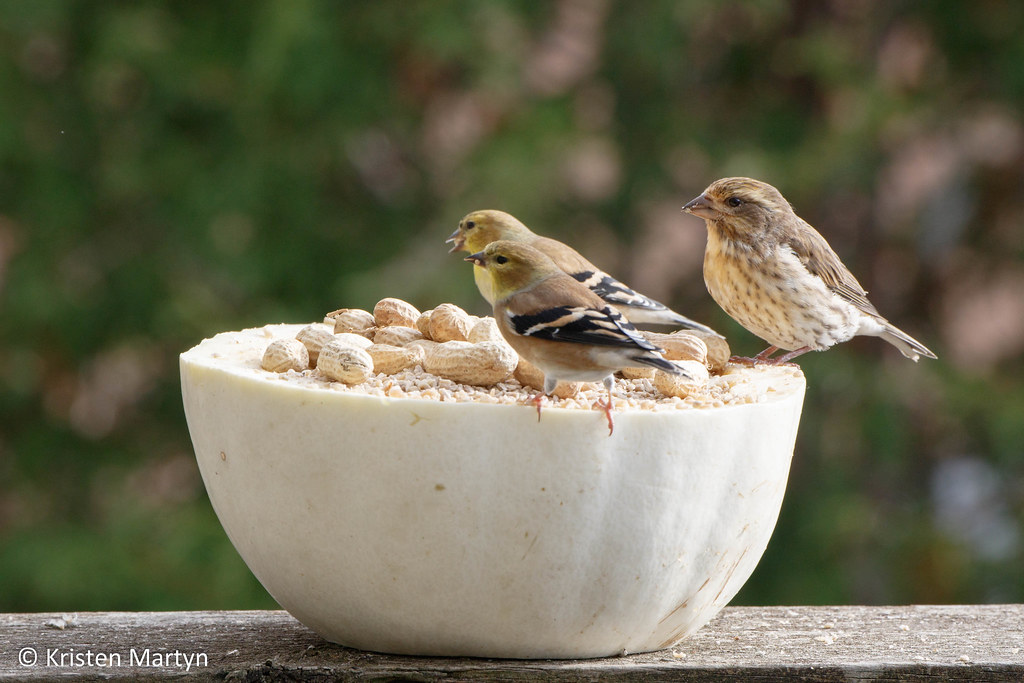 Purple Finch (Haemorhous purpureus) and American Goldfinch (Spinus tristis)