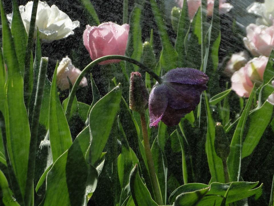 77-21apr12_3879_Botanical_garden_tulip
