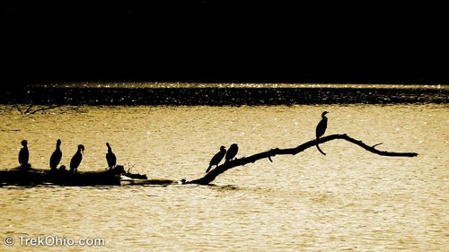 Cormorants perching on log