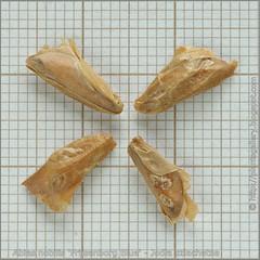 Abies nobilis 'Frijsenborg Blue' seeds - Jodła szlachetna nasiona