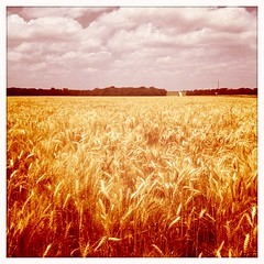 Harvest in Tipton