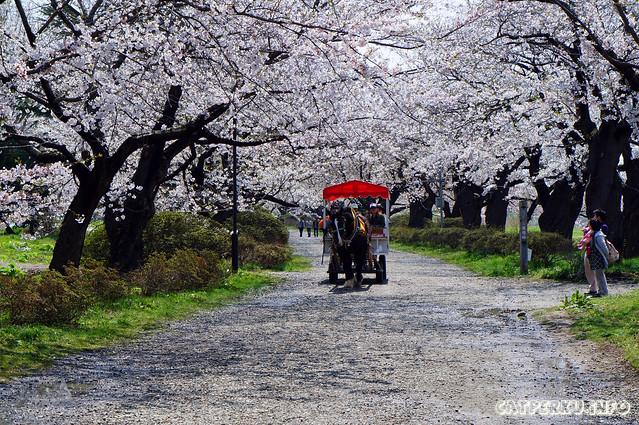 Kitakami Tensochi No Sakura Road