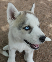 dog breed, animal, dog, miniature siberian husky, alaskan klee kai, siberian husky, norwegian buhund, canadian eskimo dog, east siberian laika, tamaskan dog, northern inuit dog, sled dog, carnivoran,