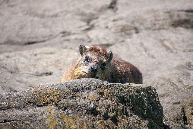 Hyrax, Bronx Zoo