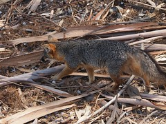 Trip to Santa Cruz Island with Friends of the Island Fox - 134