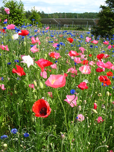 poppies and corn flowers at Montgomery High School, NJ, USA