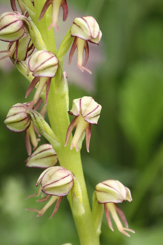 Man Orchid Aceras anthropophorum