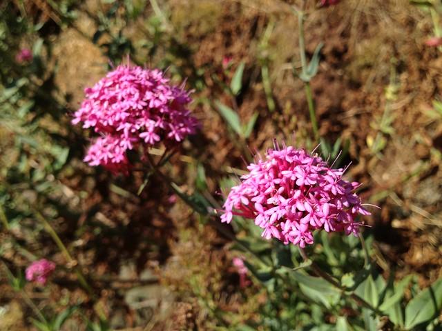 Pink flowers, Noe Valley