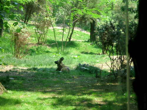 Lazy African wild dog by Coyoty