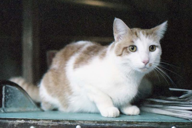 White and Brown Cat, ca. 1981