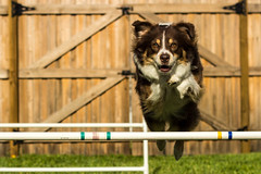 australian shepherd(0.0), border collie(1.0), animal(1.0), dog(1.0), pet(1.0), mammal(1.0), dog agility(1.0),