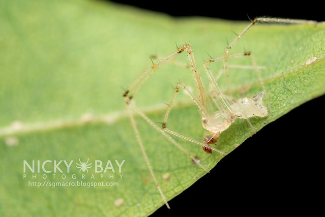 Comb-Footed Spider (Theriididae) - DSC_9283
