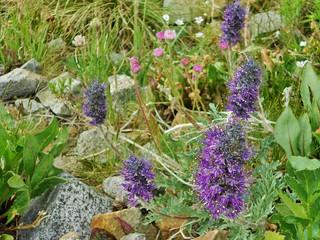 Pretty Wildflowers Near Mount Antero