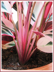 Stromanthe sanguinea 'Triostar' - focus on the fan-like arrangement of the leaf stalks - May 22 2013