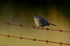 Gray Catbird-48902.jpg by Mully410 * Images
