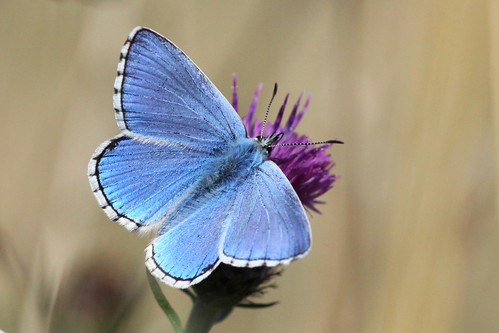 Adonis Blue  Lysandra bellargus