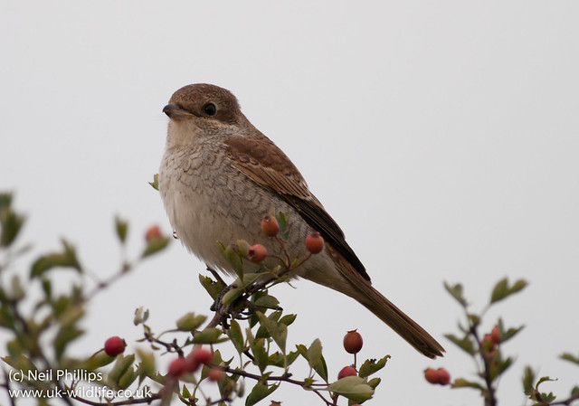 red backed shrike-6