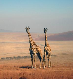 Giraffenpaar (Ngorongoro)