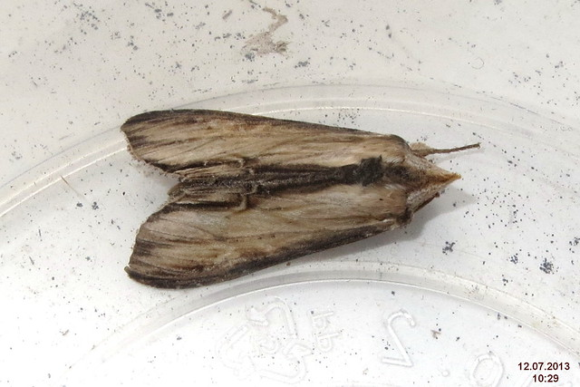 Imago Cucullia lychnitis (Source: Flickr)