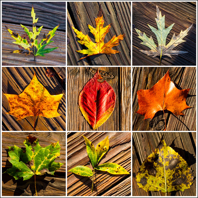 Fall Leaves Study