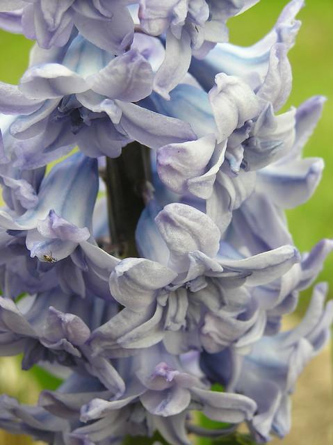 Hyacinthus orientalis 'General Köhler'