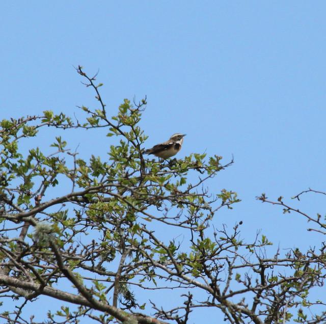blue woodpecker bird
