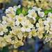 perfume blossoms by Melia Maarten
