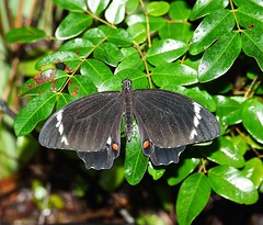 Butterflies of Whitsunday Shire
