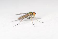 arthropod, animal, mosquito, invertebrate, macro photography, membrane-winged insect, fauna, close-up, pest,