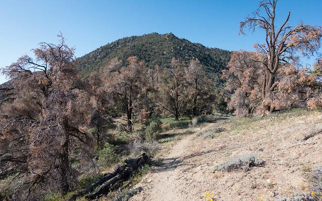 Lots of dead trees, m657