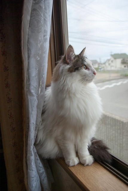 Norwegian Forest Cat Pictures And Information Cat Breeds Com