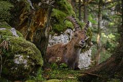 Steinbock in freier Wildbahn