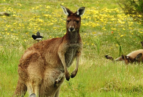 Western Grey kangaroos and friend. Australind