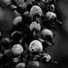 Snowberries by Nicholas Lyle