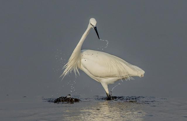 DSC7352  Little Egret..
