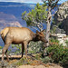 Grand Canyon Nat Park: Elk Browsing in Fall: 0010