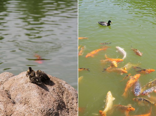 ducksfish