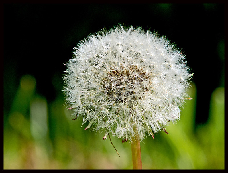 Seed head of common dandelion