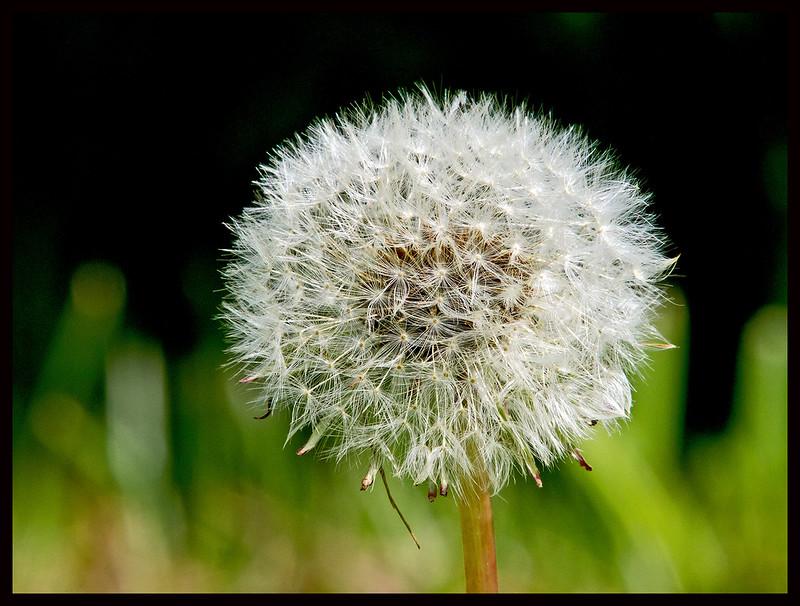 Seed head of common dandelion