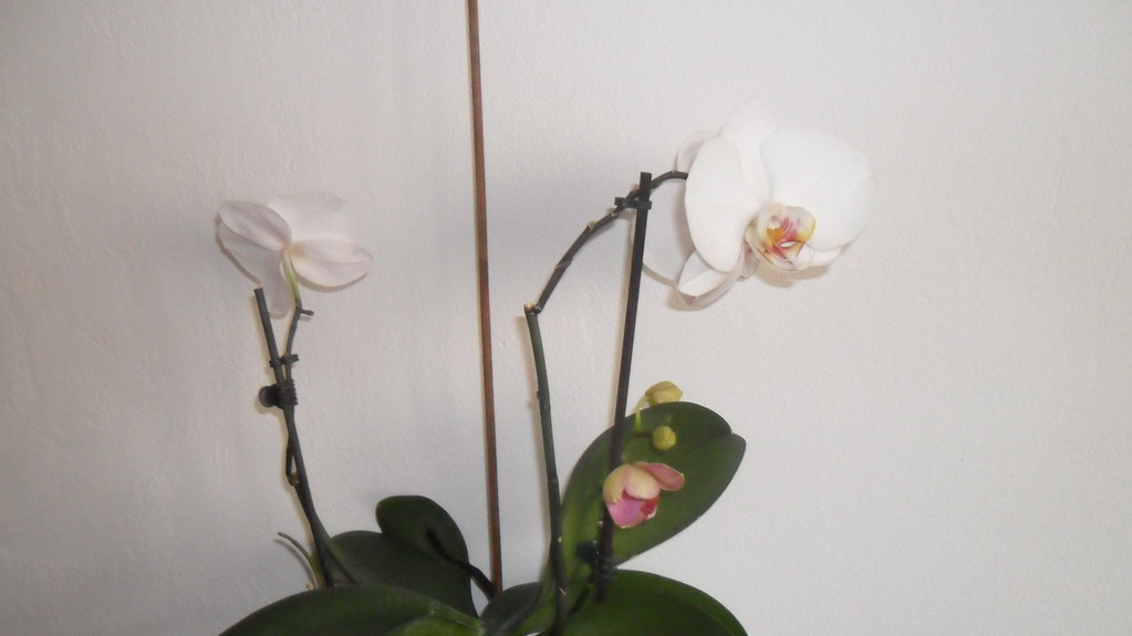 Orhideele lui Victor - Pagina 6 7063734119_fa21a2337f_b