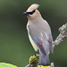 Cedar Waxwing by Terry Sohl