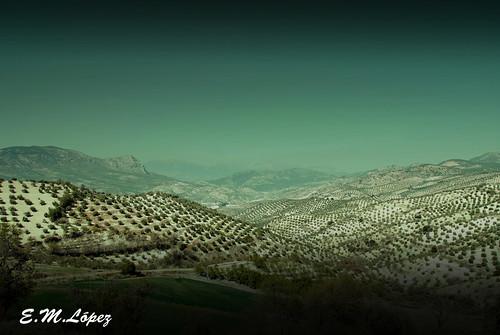 Paisaje de olivos
