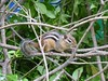 Thicket chipmunk